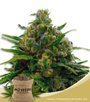 Auto CBD White Widow (1:1) Marijuana Seeds