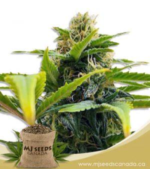 Auto Solomatic CBD (1:20) Marijuana Seeds