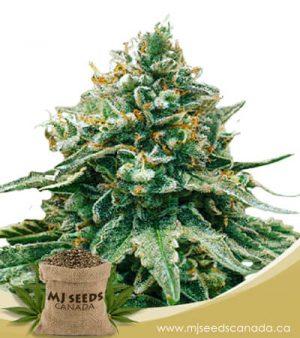 Baklava Feminized Fast Version Marijuana Strain