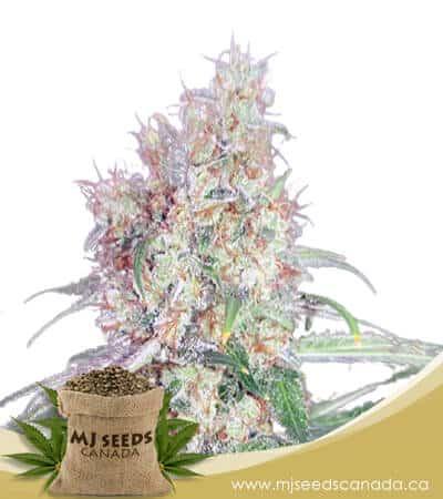 Black Haze Regular Marijuana Seeds
