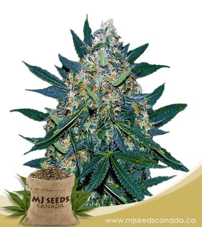 Black Indica Feminized Marijuana Seeds