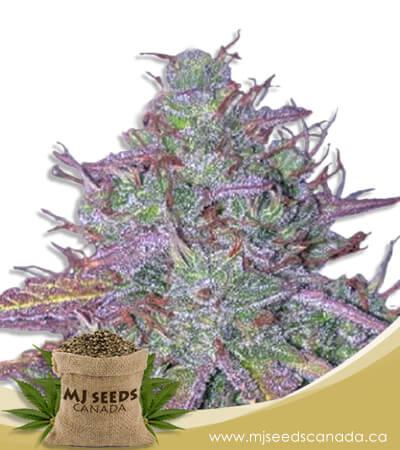 Blue Mystic Autoflowering Marijuana Seeds