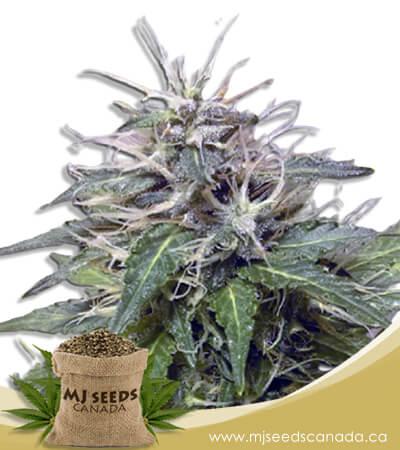 Blue Orca Autoflowering Marijuana Seeds