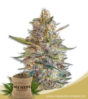 Blueberry Diesel Feminized Marijuana Seeds