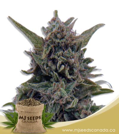 Blueberry OG Feminized Marijuana Seeds