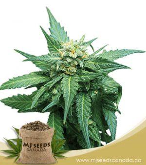 CB Diesel Feminized Marijuana Seeds