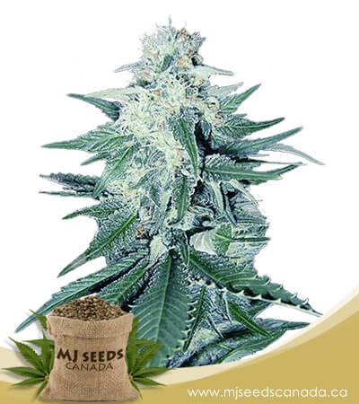 CB Dream Feminized Marijuana Seeds