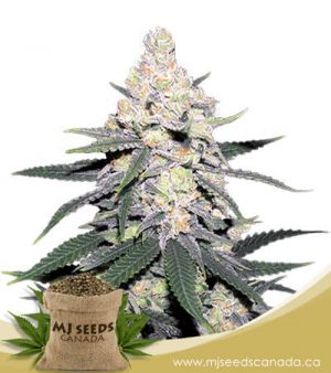 cb dutch treat feminized marijuana seeds