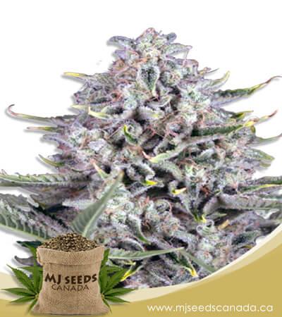 CBD Gorilla Feminized Fast Version Marijuana Seeds
