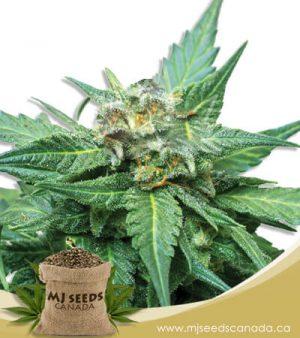 Cali Kush CBD Indica (1:20) Marijuana Seeds