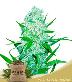 Cali Og Kush x Haze Feminized Marijuana Seeds