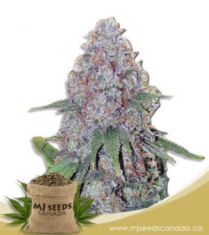 candy haze feminized marijuana seeds