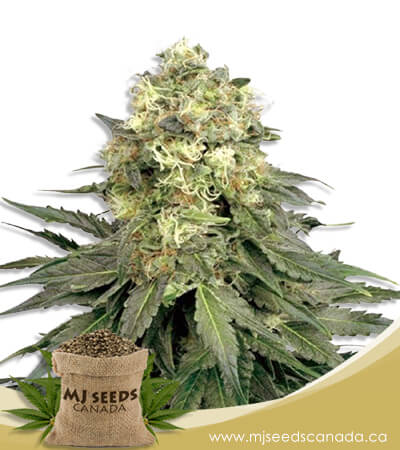 Chemdog Feminized Marijuana Seeds