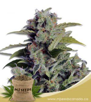Cherry Kush Autoflowering Marijuana Seeds
