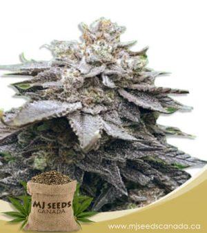 Cola Kush Feminized Fast Version Marijuana Seeds