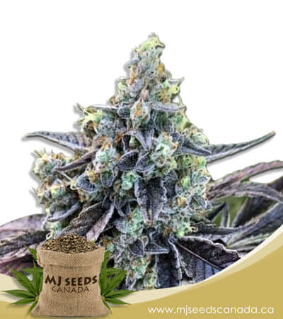 Cookie Dog Autoflowering Marijuana Seeds