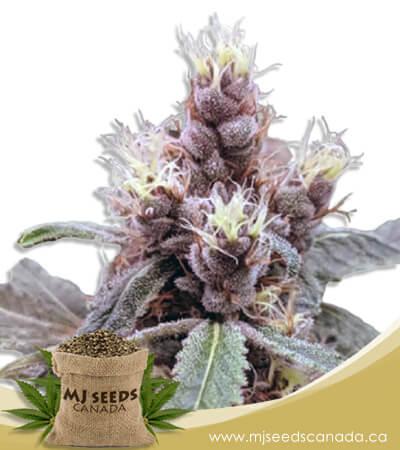 Cookie Monster Autoflowering Marijuana Seeds