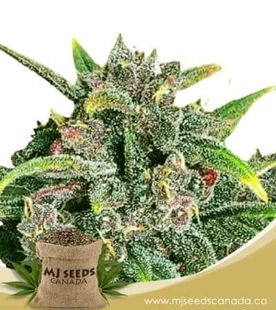 Corona Kush Feminized Fast Version Marijuana Seeds