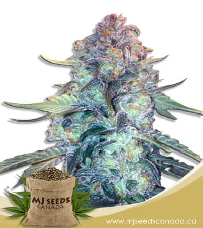 Creamsicle Feminized Marijuana Seeds