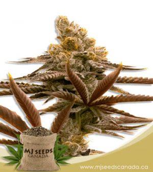 Critical Auto Fast Bud Marijuana Seeds