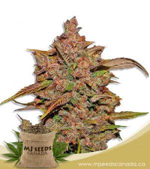 Crystal Autoflowering Marijuana Seeds