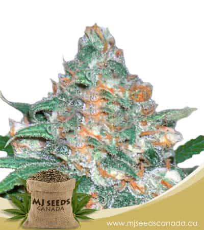 Devil's Crack Feminized Marijuana Seeds