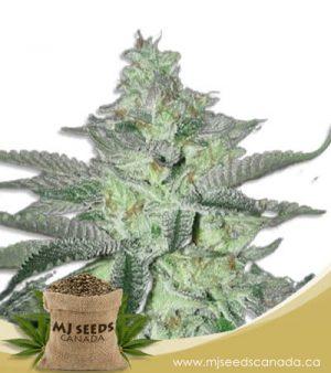 biesel berry autoflowering marijuana seeds