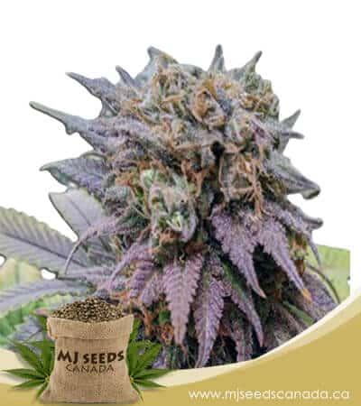 Dragon Fruit Feminized Marijuana Seeds