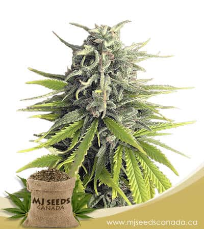 Durban Poison Feminized Marijuana Seeds