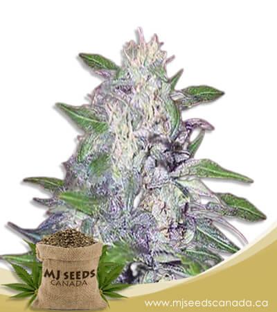 Dwarf King Feminized Marijuana Seeds