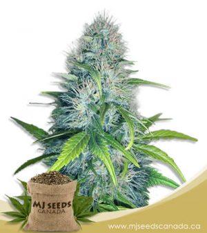 Early Miss Autoflowering Marijuana Seeds