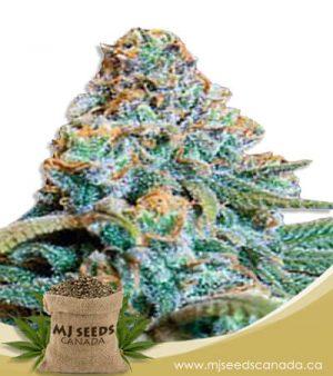 Fucking Incredible Autoflowering Marijuana Seeds