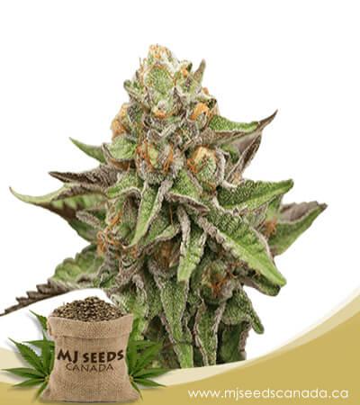 Gelato Feminized Marijuana Seeds