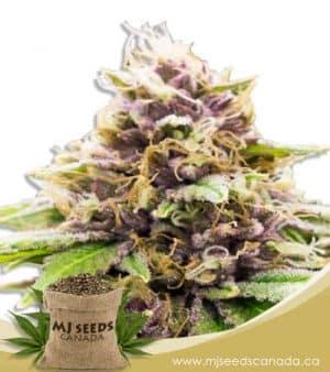 Grand Daddy Purple Autoflowering Marijuana Seeds