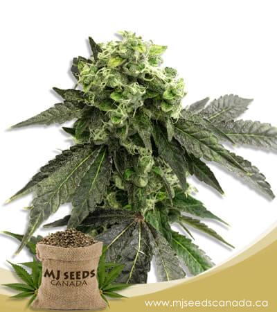 Grape Ape Feminized Marijuana Seeds