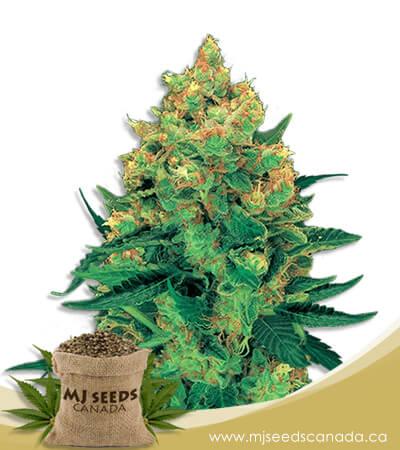 Hash Plant Feminized Marijuana Seeds