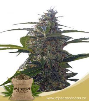 Headband Autoflowering Marijuana Seeds