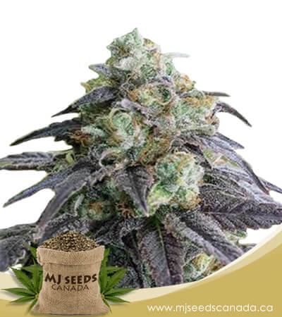 Headband Feminized Marijuana Seeds