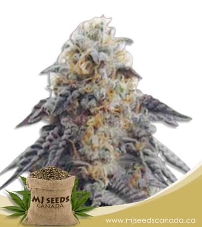 Hippie Crippler Autoflowering Marijuana Seeds