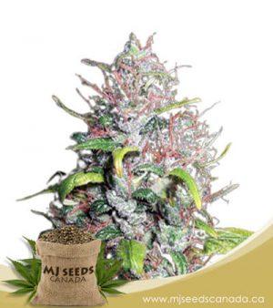 Island Sweet Skunk Autoflowering Marijuana Seeds