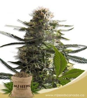 Jack Herer Autoflowering Marijuana Seeds