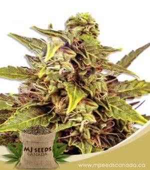 Fem Mix Marijuana Seeds