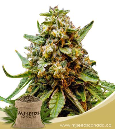 Killer Lemonade Autoflowering Fast Version Marijuana Seeds
