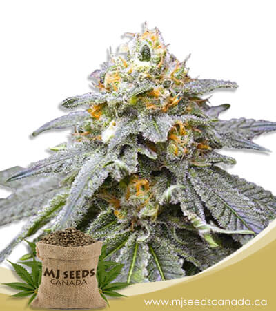 Kings Bread Autoflowering Marijuana Seeds