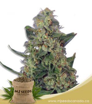Light Saber Autoflowering Marijuana Seeds