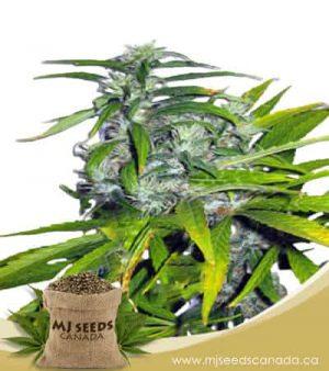 Mango Haze Autoflowering Marijuana Seeds