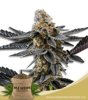 Meat Breath Autoflowering Marijuana Seeds