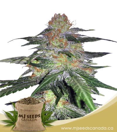 Melon Gum Feminized Marijuana Seeds