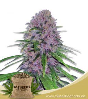 Mendo Breath Autoflowering Marijuana Seeds