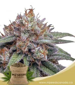 Mint Cookies Autoflowering Marijuana Seeds